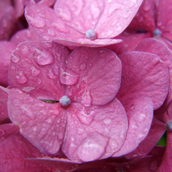 endless-summer-hydrangeas-1