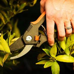shrub-prune-2
